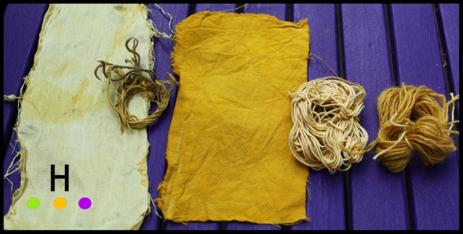 goldenrod dyeing 1